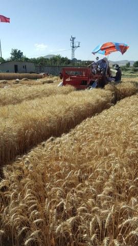 2016-2017 yılı Konya Ilgın bölgesi Buğday Denemeleri Hasatı